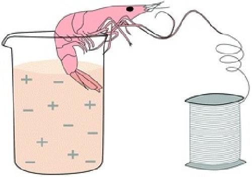 دانلود استخراج کیتین از پوسته میگو و  استفاده از کیتین برای جدا کردن یون منگنز(VII)