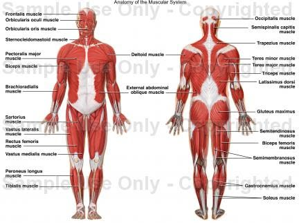 دانلود پاورپوینت The Muscular System
